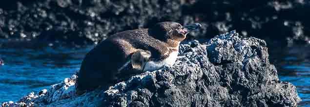 galapagos penguin resting on a rock on the bartholomew island